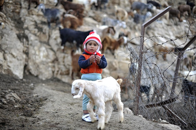 bedouin child and sheep
