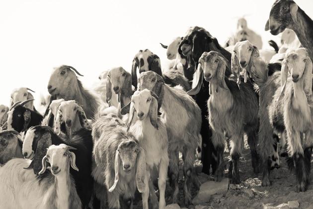 israel-goats